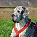Best dog food for great dane