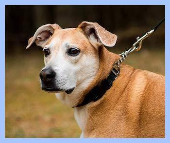 Best dog collars for pitbulls.