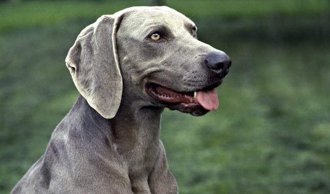 15 Facts About Blue Nose Pitbulls Pet Life World