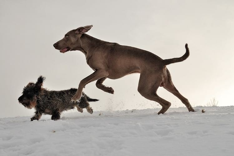 Running dachshund lab mix breed