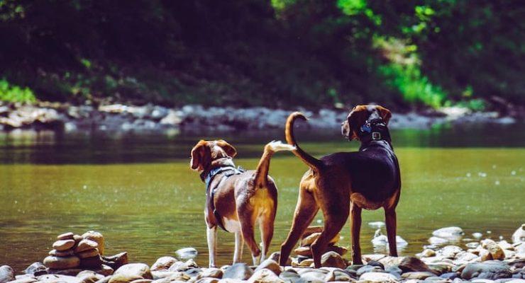 blue nose pitbulls interesting facts