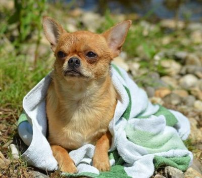 drying dog with towel