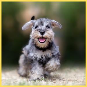 Chizer A Cheerful Breed