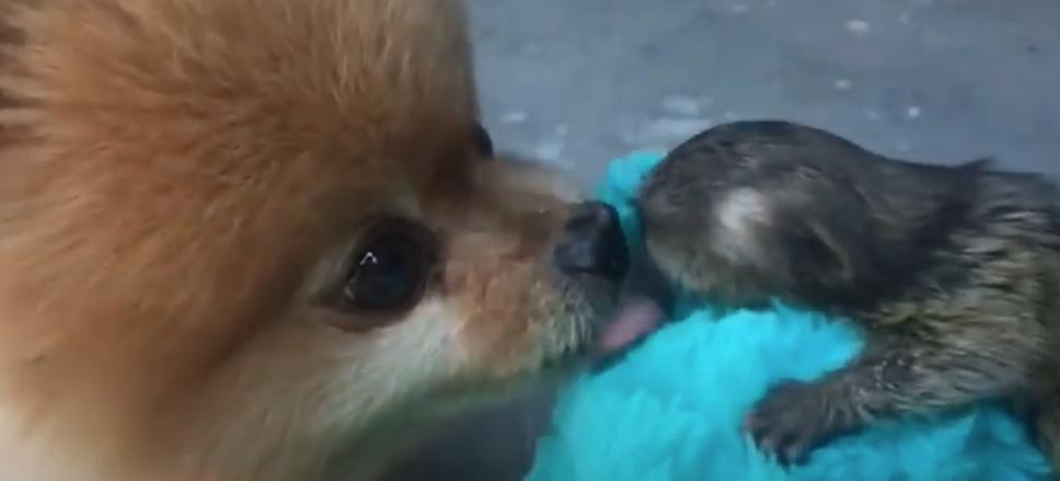 finger monkey pets