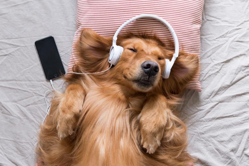 golden retriever listening to music