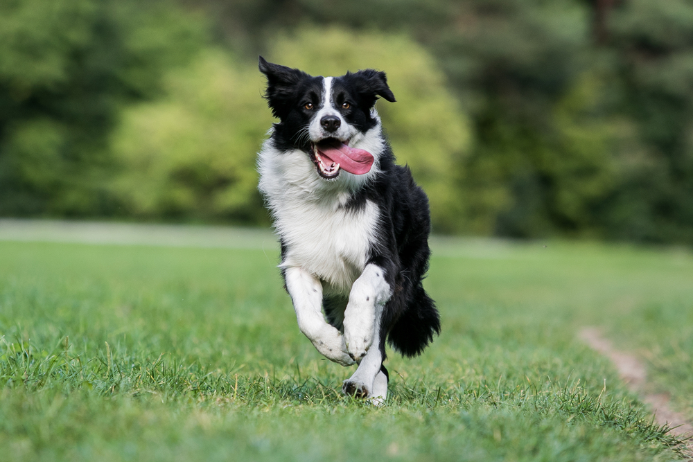 highly active border collie