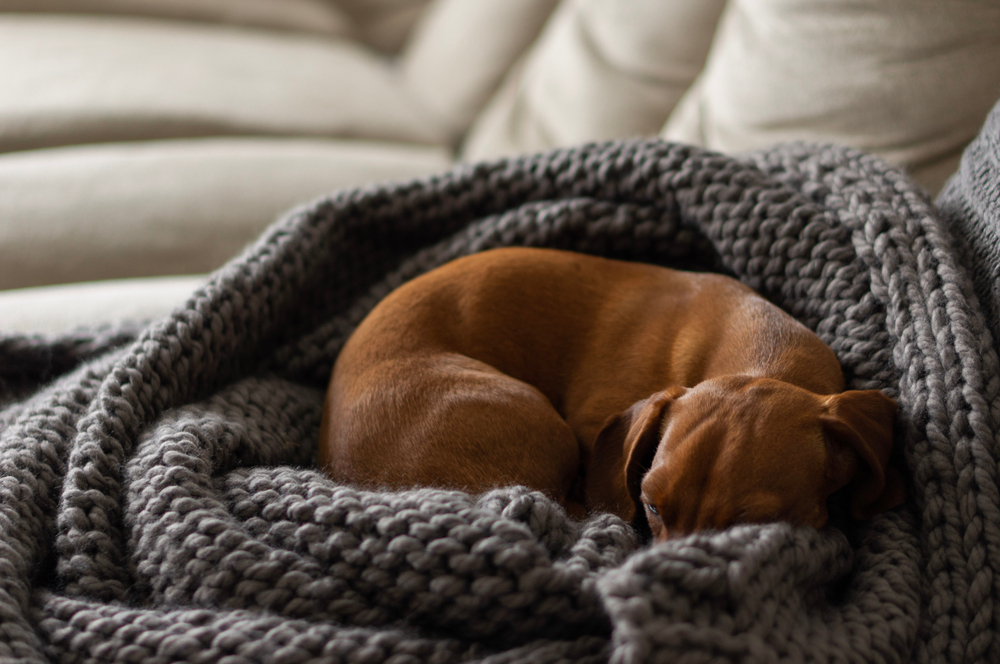 reasons dogs curl up to sleep